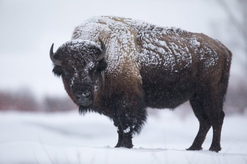Image result for bison in the snow