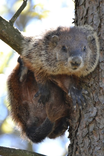 Image result for woodchuck in a tree