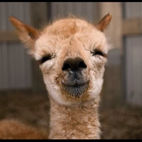 Image result for happy llamas