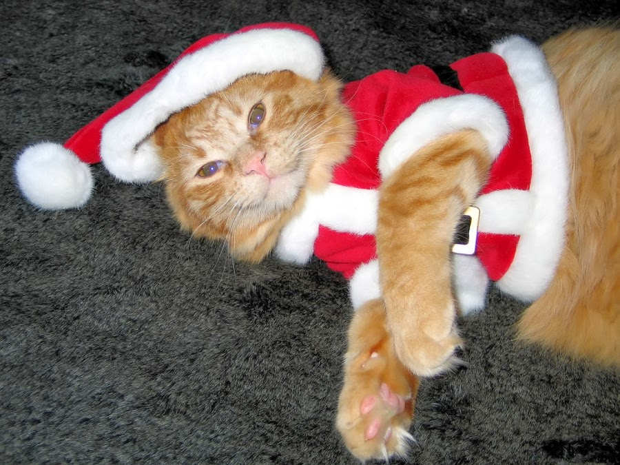 Image result for Santa cat""