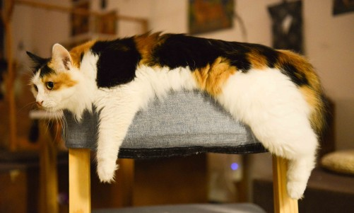 Image result for beautiful calico cat""