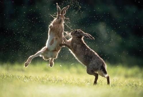 Image result for angry hare