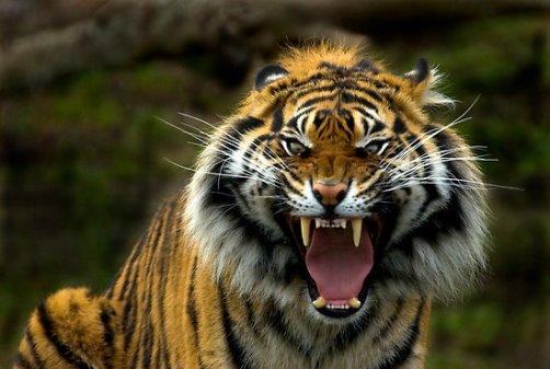 Diego Braghi: Tiger roar paralyzing power